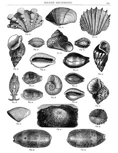 Clams clipart vintage Sea black sea digital sheet