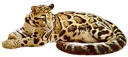 Clouded Leopard  clipart B1 — leopard own any