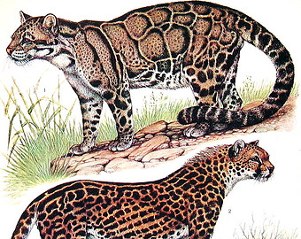 Clouded Leopard  clipart Clouded Etsy Siberian Print Tiger
