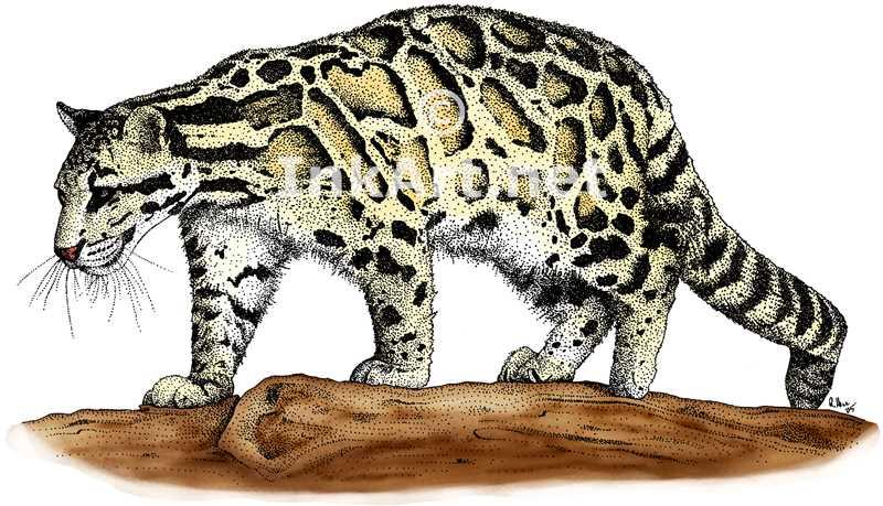 Clouded Leopard  clipart Coloring Clouded Leopard Leopard coloring