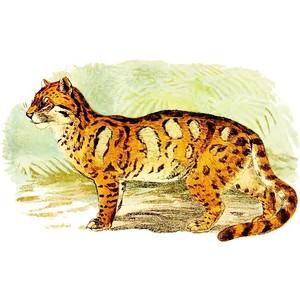 Clouded Leopard  clipart Domain FELIS public LEOPARD LEOPARD