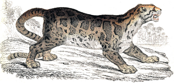 Clouded Leopard  clipart Svg Clouded Leopard Leopard svg