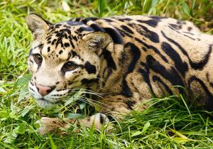 Clouded Leopard  clipart Clipart Leopard Download Clouded Art