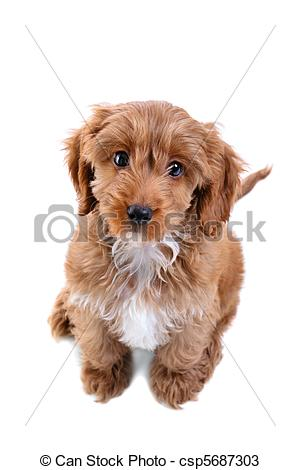Cockapoo clipart White Images isolated 11