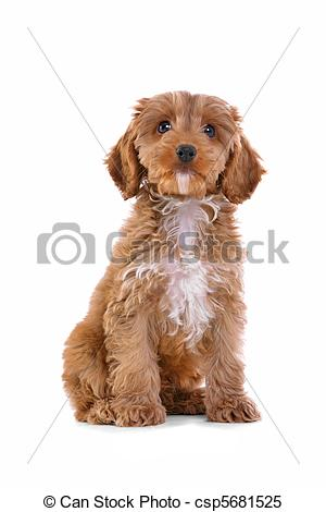 Cockapoo clipart Csp5681525 Images on 11 Puppy