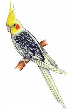 Cockatiel clipart (318×490) drawing jpg cockatiel Bird