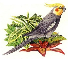 Cockatiel clipart On next sitting a Clipart
