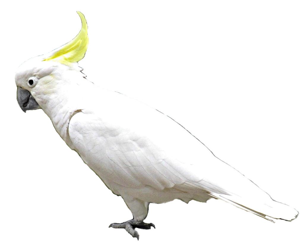 Cockatoo clipart Med med  image Flickr