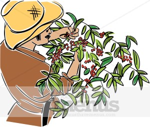 Coffee Plant clipart ) Clipart found Harvest Templates