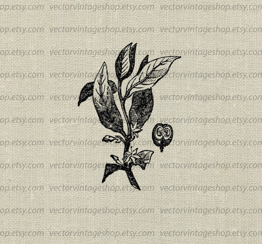 Coffee Plant clipart vector png Clipart file a Botanical Plant