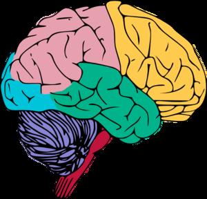 Color clipart brain  Copy art online Brain