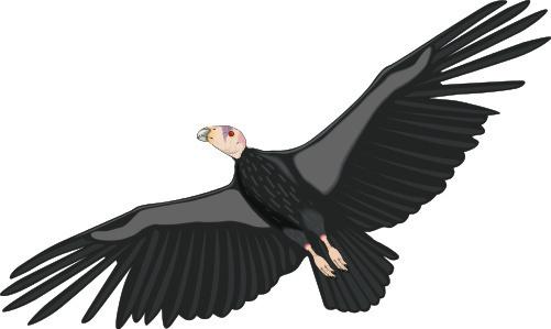 Condor clipart Clipart condor%20clipart Free Panda Condor