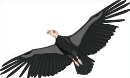 Condor clipart Free Tags: Clipart Condor condor