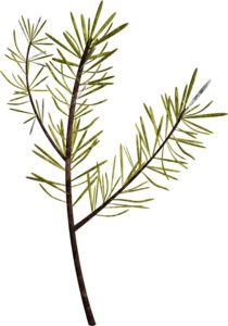 Pine clipart pine needle Best Pine DIY Pinterest crafts