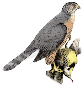 Cooper's Hawk clipart Download Hawk Coopers Hawk Clip