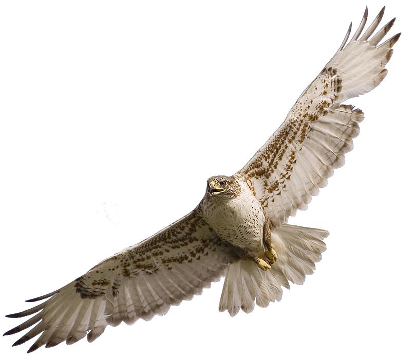 Cooper's Hawk clipart Art clipart clip hawk Clipartix