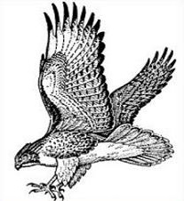 Cooper's Hawk clipart Hawk Hawk #7 Download Download