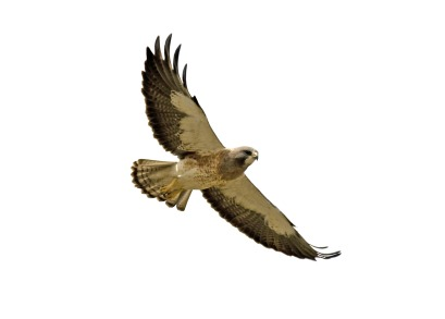 Cooper's Hawk clipart Tailed clipart Red tailed clipart