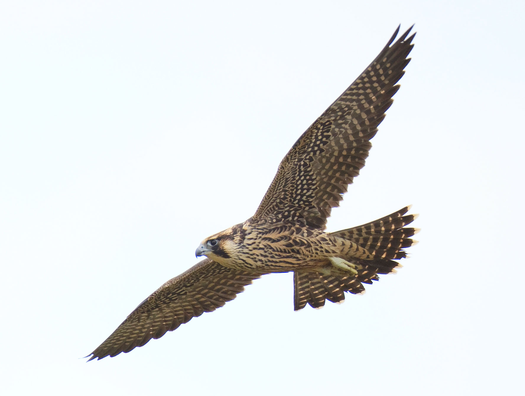 Peregrine Falcon clipart flight drawing Peregrine State Sunderland Florida photographed