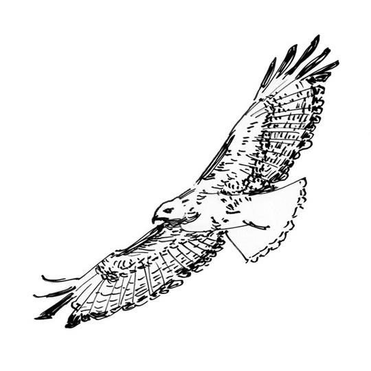 Drawn hawk flying 56 by images me about