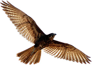 Bird Of Prey clipart white falcon Flight Bird Images Clipart in