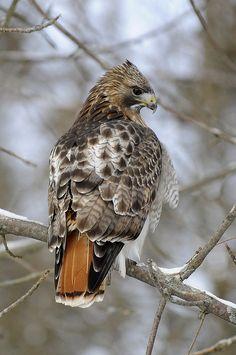 Drawn hawk mean Eagle The tailed  morph