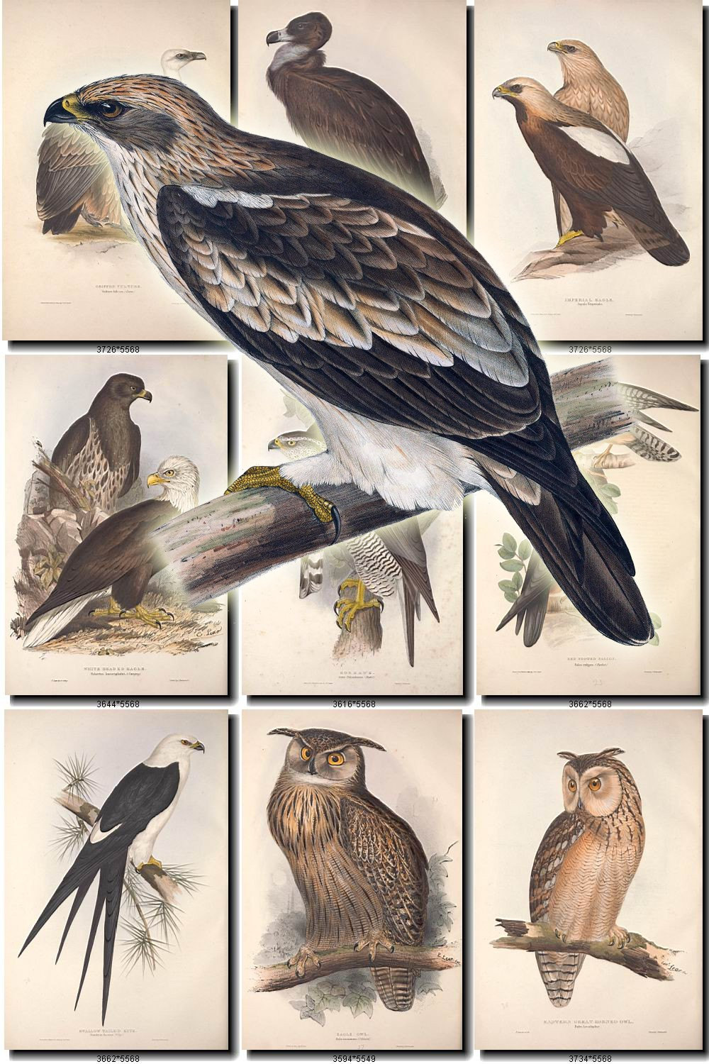 Tawny Eagle clipart Vintage  parrots of file