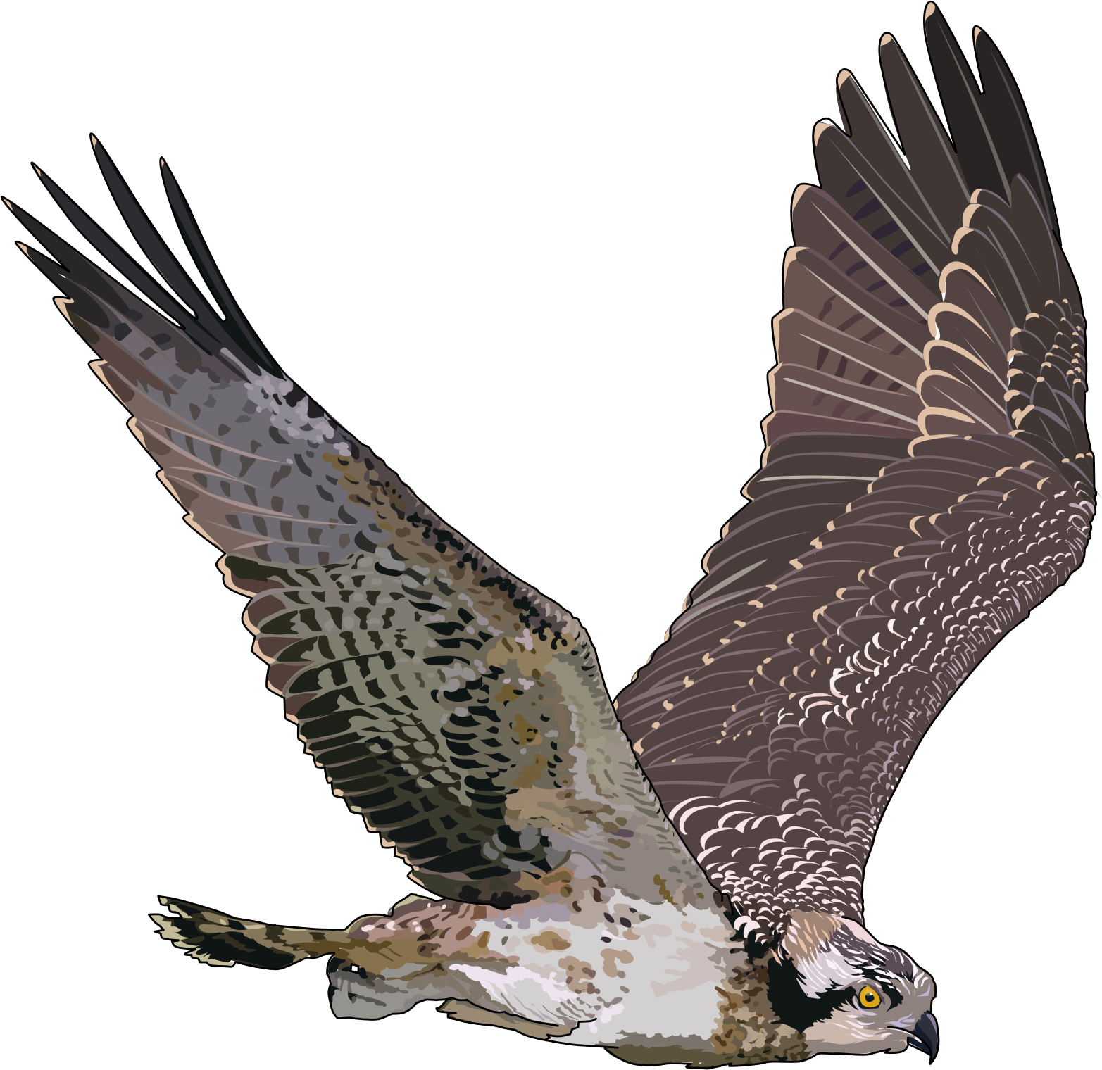 Peregrine Falcon clipart transparent Image background PNG transparent with
