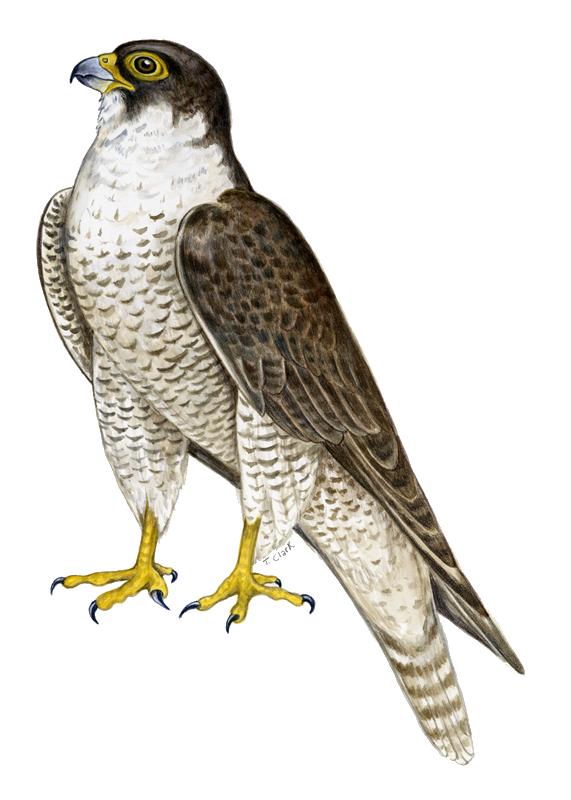 Peregrine Falcon clipart transparent PNG PNG All Images Transparent