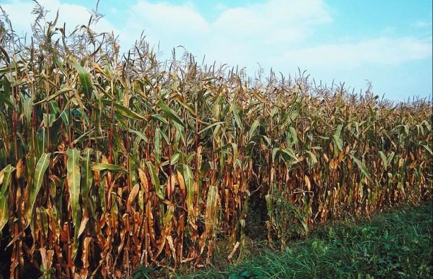 Cornfield clipart corn maze County Art corn maze Maze