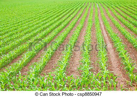 Cornfield clipart crop field  the Young csp8850947 Corn