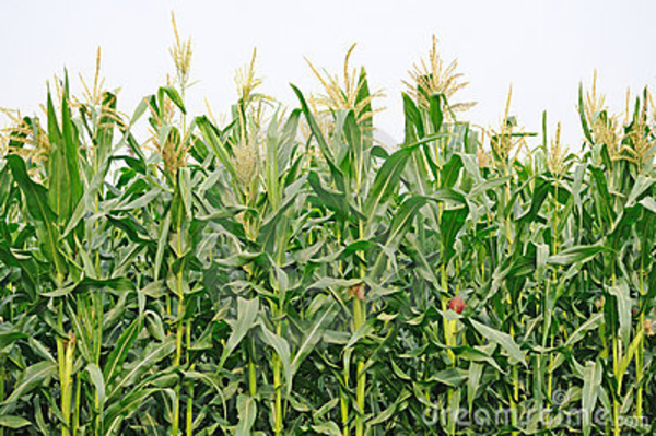 Cornfield clipart wheat plant 96630 Field Art Corn IMGFLASH