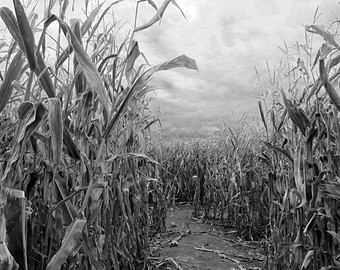Cornfield clipart corn maze Photograph maze black and Halloween