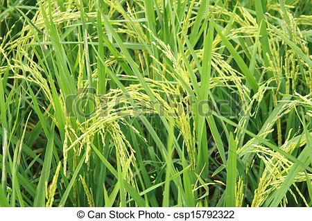 Cornfield clipart rice crop Cornfield csp15792322 rice of Stock