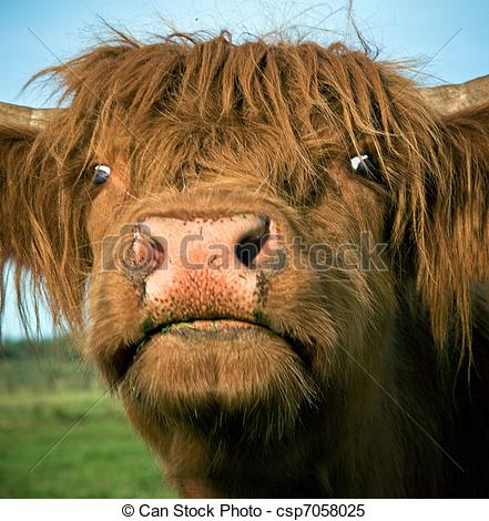 Cow clipart scottish Close Stock cow of of