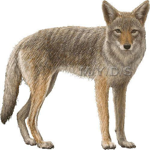 Coyote clipart Art Art picture picture Clip