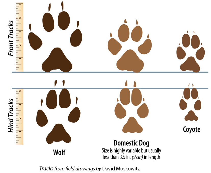 St. Bernard clipart Of Wolves Wildlife Signs Western