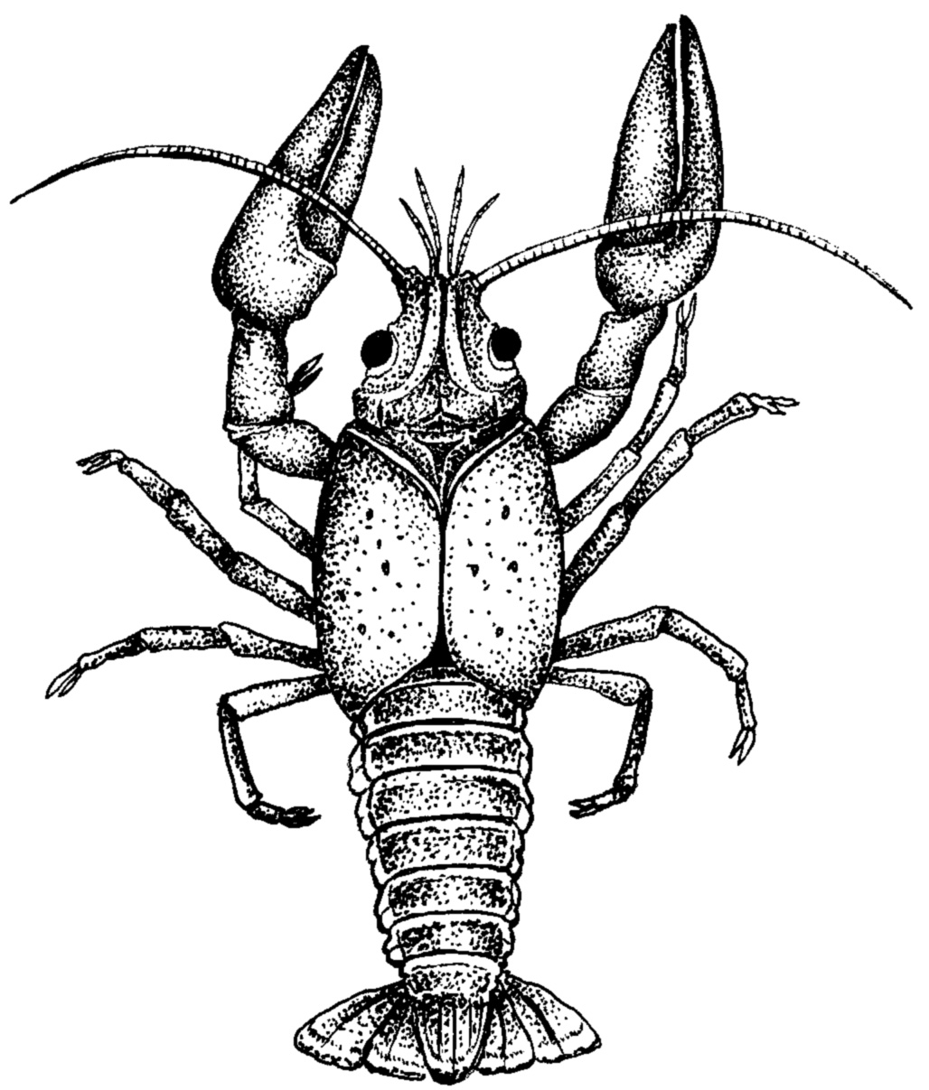 Crayfish clipart Download jpg Crayfish
