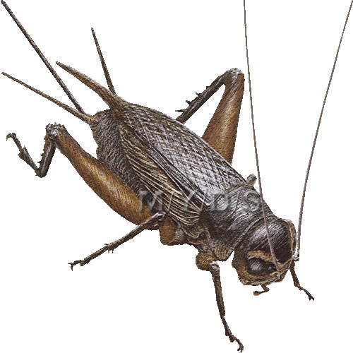 Brown clipart cricket / (Free art picture Cricket