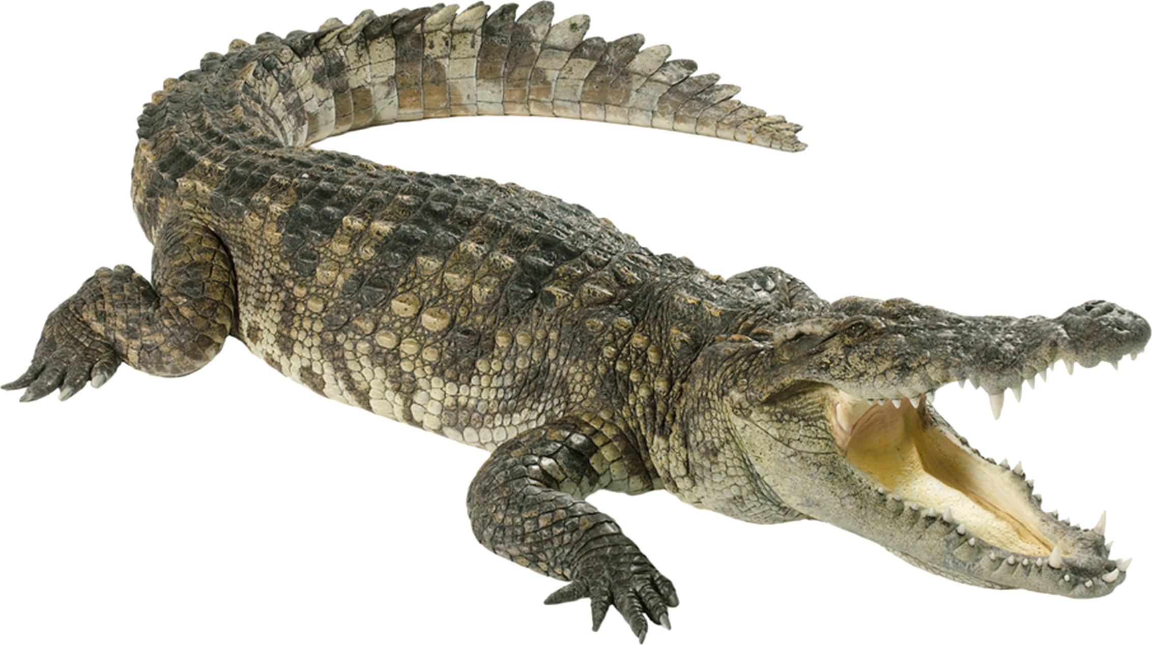 Alligator clipart vertebrate Crocodile PNG aligator PNG PNG