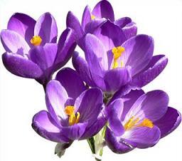 Crocus clipart Crocus purple Clipart Crocus Free