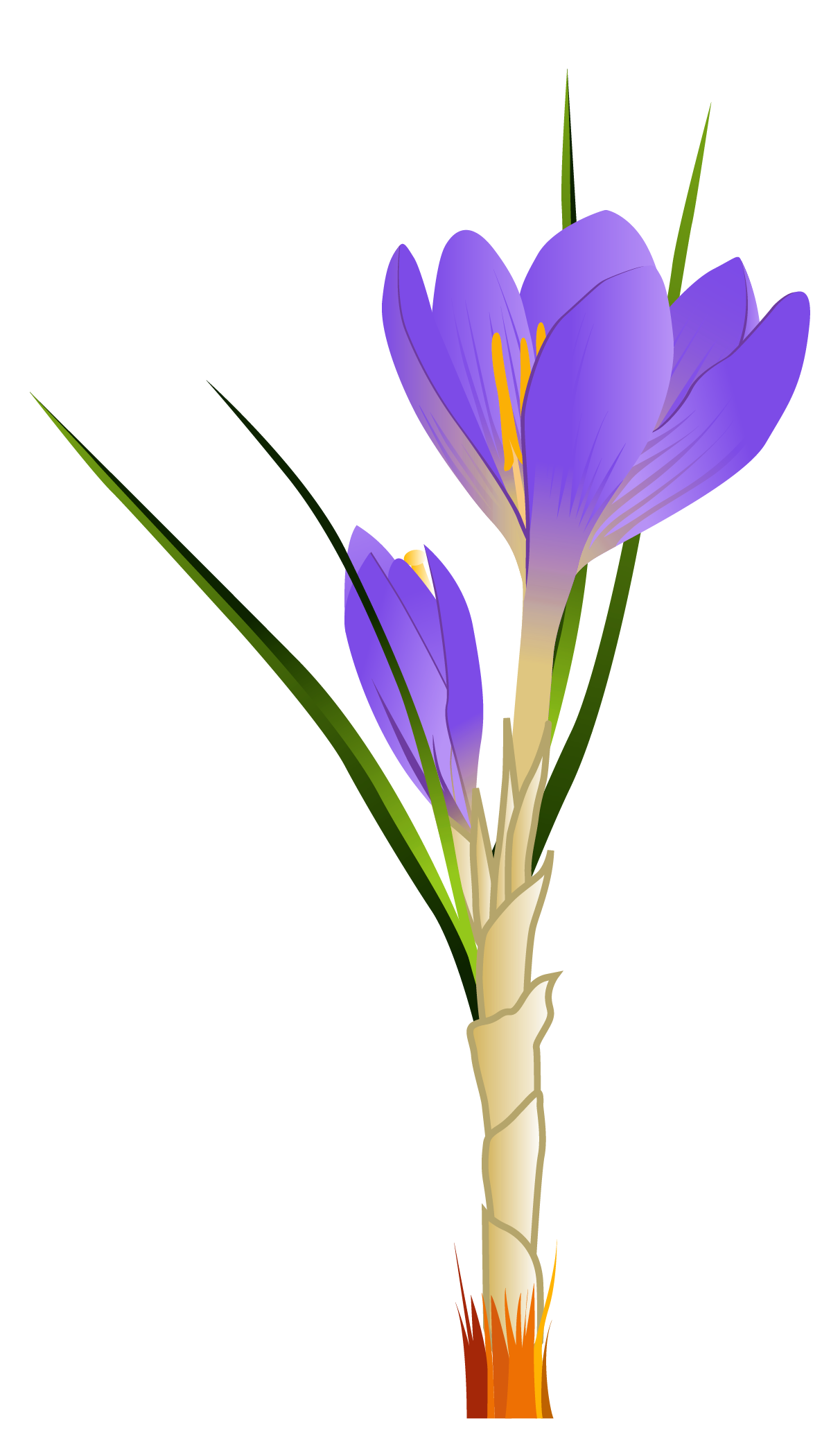 Crocus clipart Full Clipart PNG Picture View