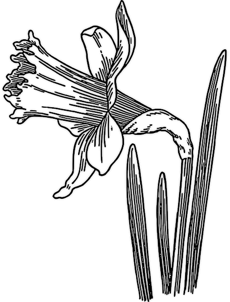 Tulip clipart daffodil flower #1