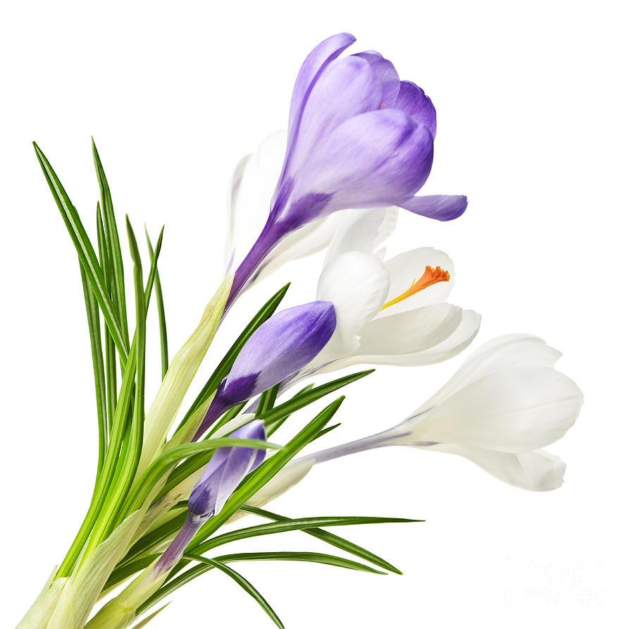 Crocus clipart spring flower Cliparts Cliparts Flower Crocus Crocus