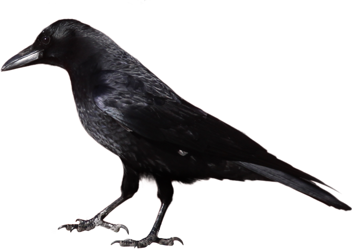 Crow clipart Clipart drawings Download clipart clipart