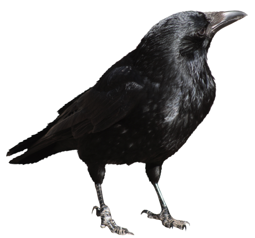 Crow clipart transparent background Full size View Gallery Picture