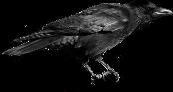 Crow clipart transparent background Twenty three Raven Search crow