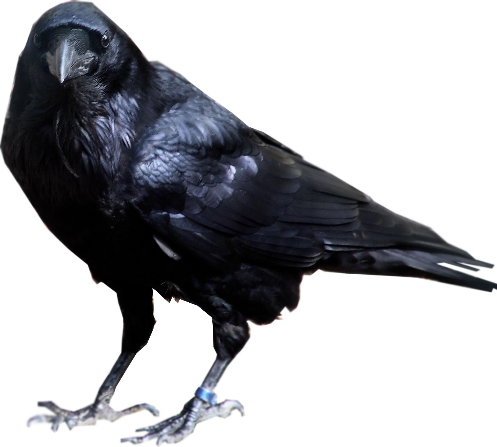Crow clipart transparent background Bird Transparent Raven Transparent Images