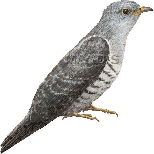 Cuckoo clipart Graphics Cuckoo poliocephalus Cuculus clip
