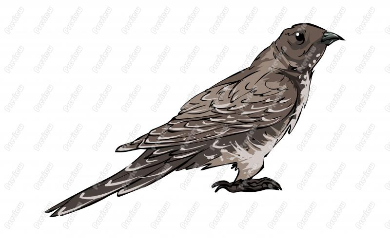 Cuckoo clipart Royalty Oriental Bird Character